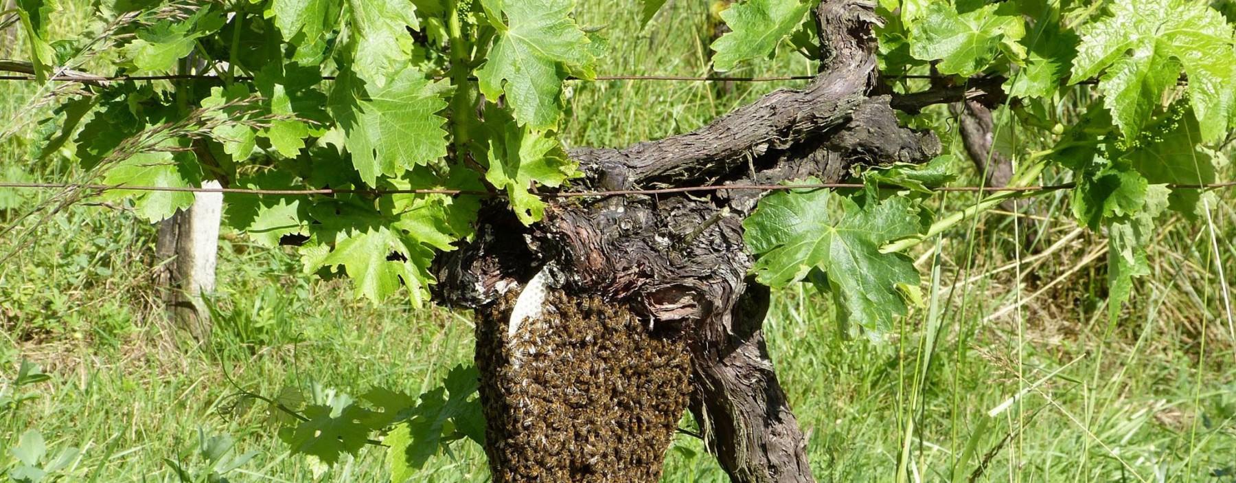 Essaim d'abeille dans les vignes